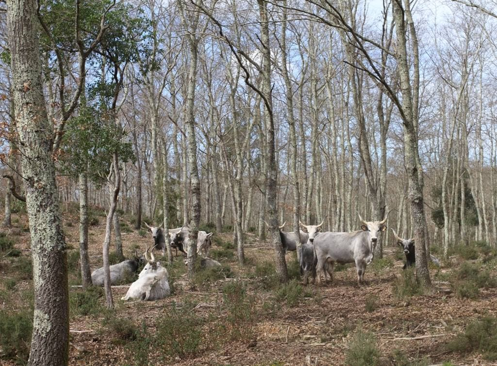 Finding Maremmane and Chianina cows