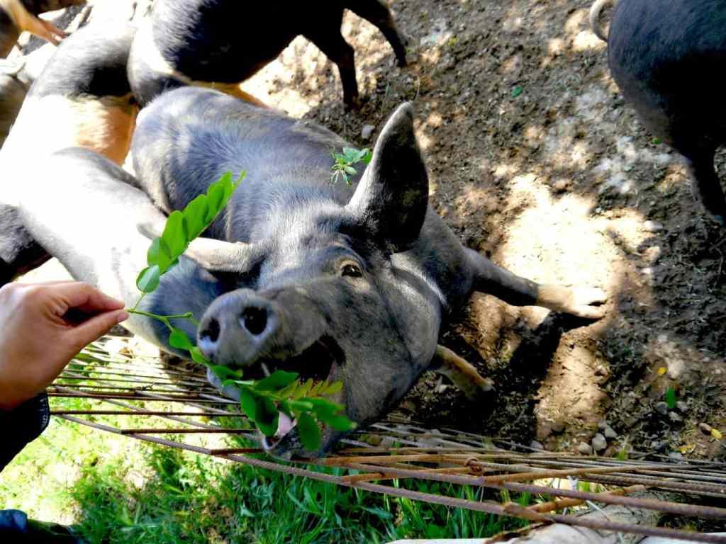 Cinta Senese pigs