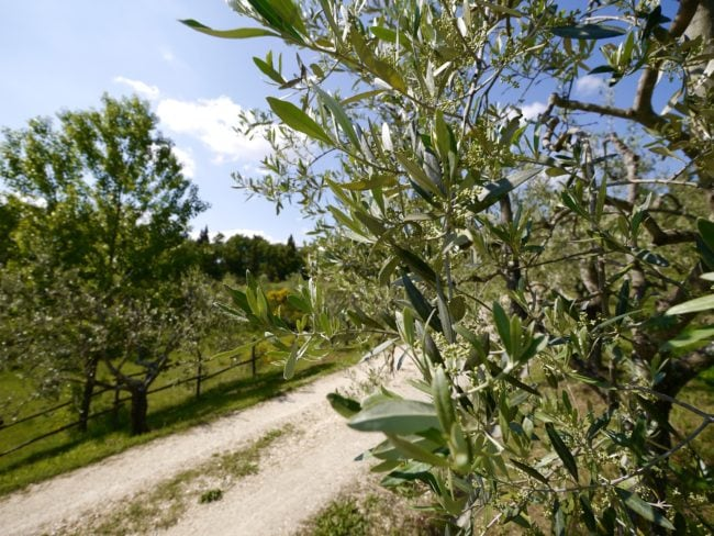 """""""Podere Erica olive trees"""""""