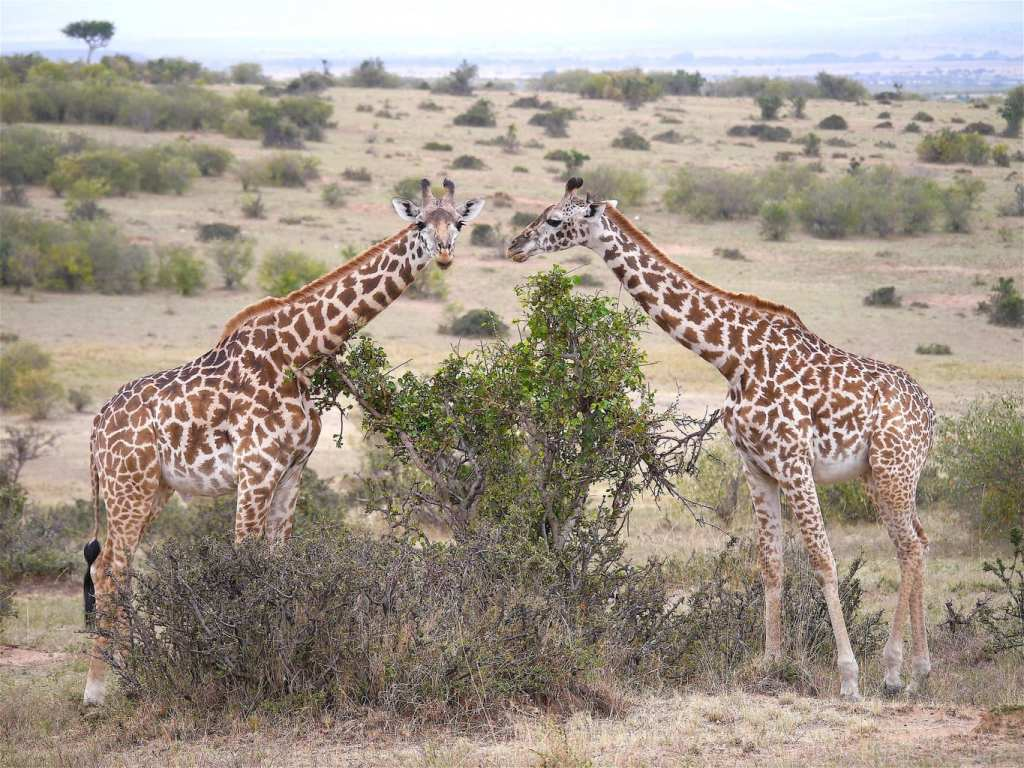 Two giraffe in Masai Mara