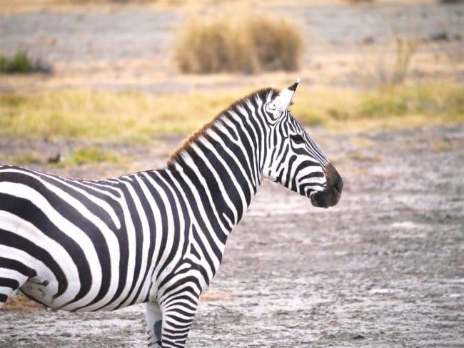 """Zebra in Amboseli"""