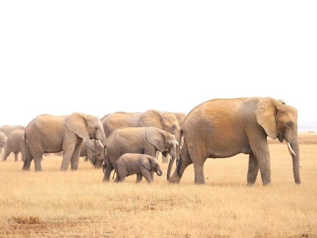 """Elephants on Amboseli park"""