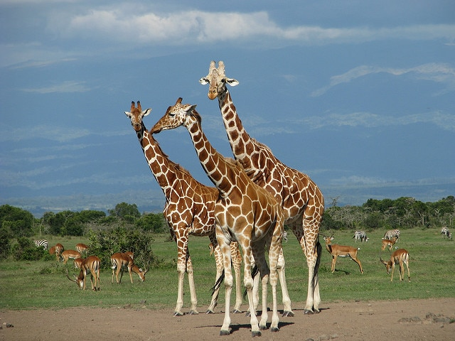 """""""Reticulated giraffe"""""""