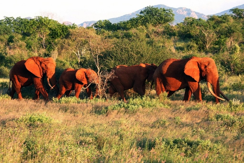 Tsavo red dusted elephants