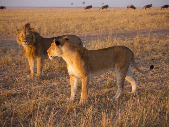 """Lions in the Masai Mara"""
