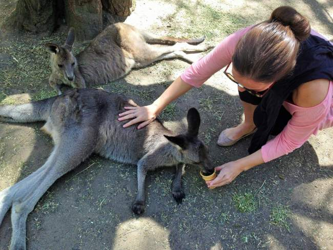 """Feeding kangaroos at Featherdale Wildlife Park"""