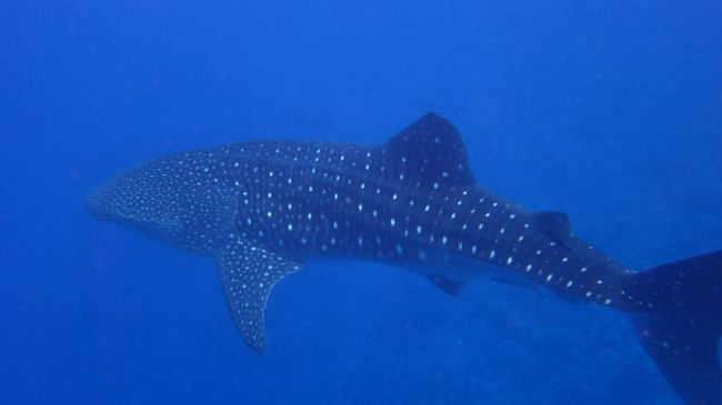"""""""Whale shark in Yap"""""""
