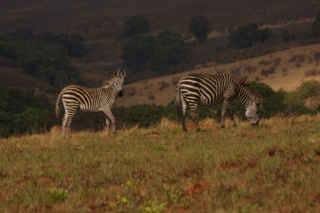 Zebras having some lunch at Nyika