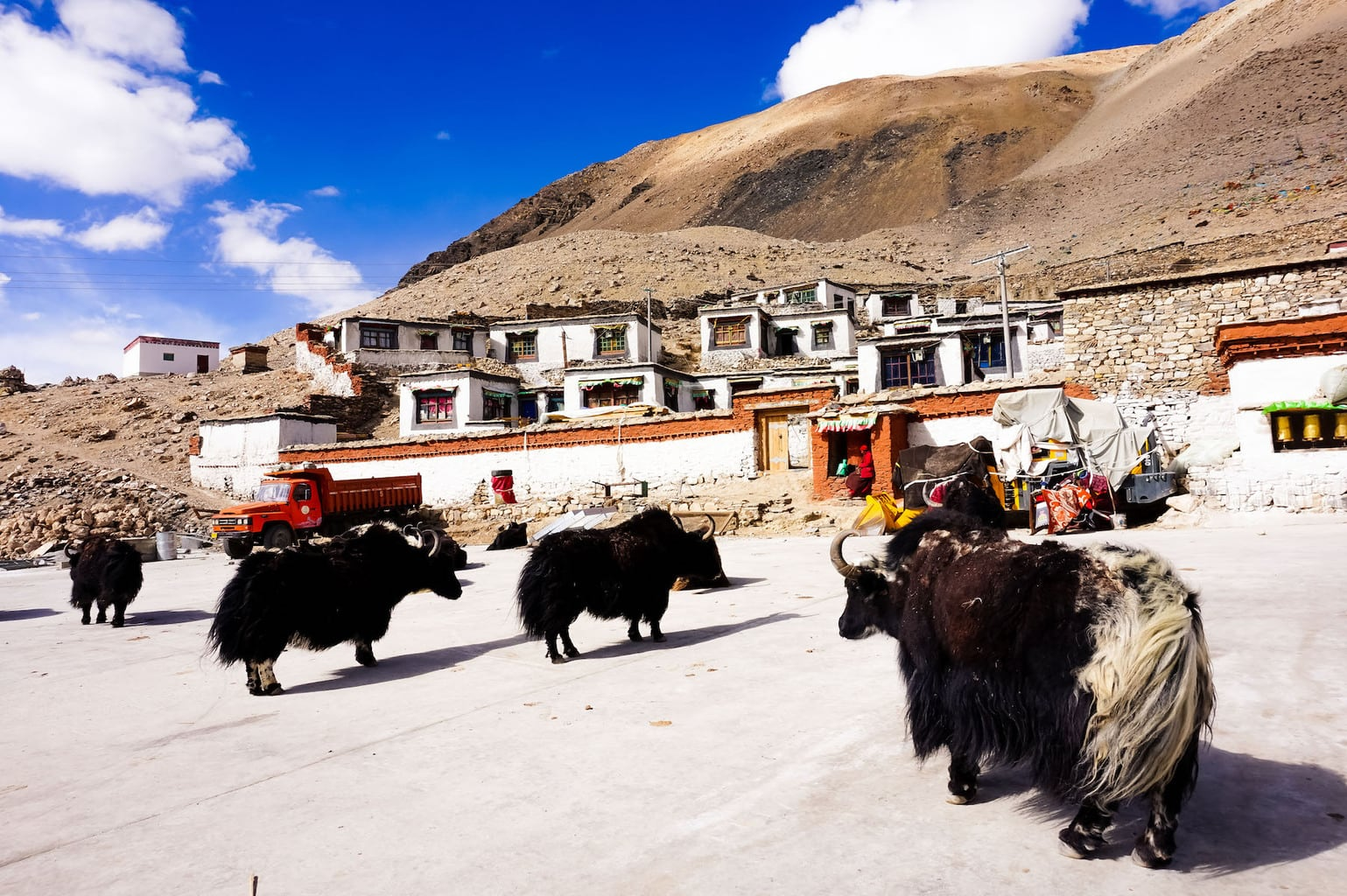 Yaks in high altitudes