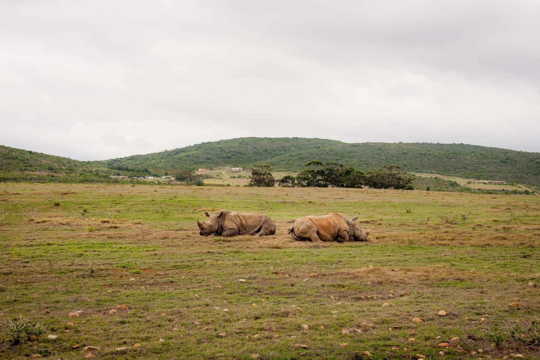 Garden Route rhinos