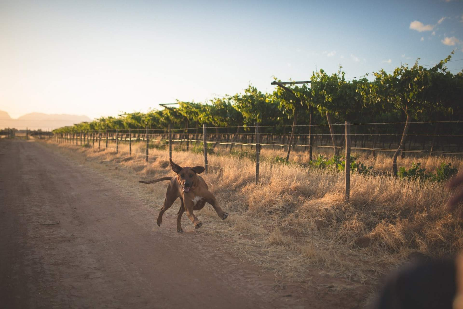 Frolicking ridgeback on a wine farm in Worcester