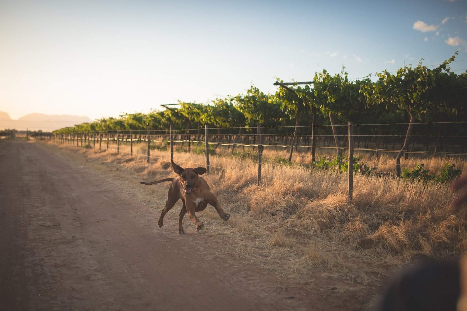 Frolicking ridgeback on a wine farm in Worcester