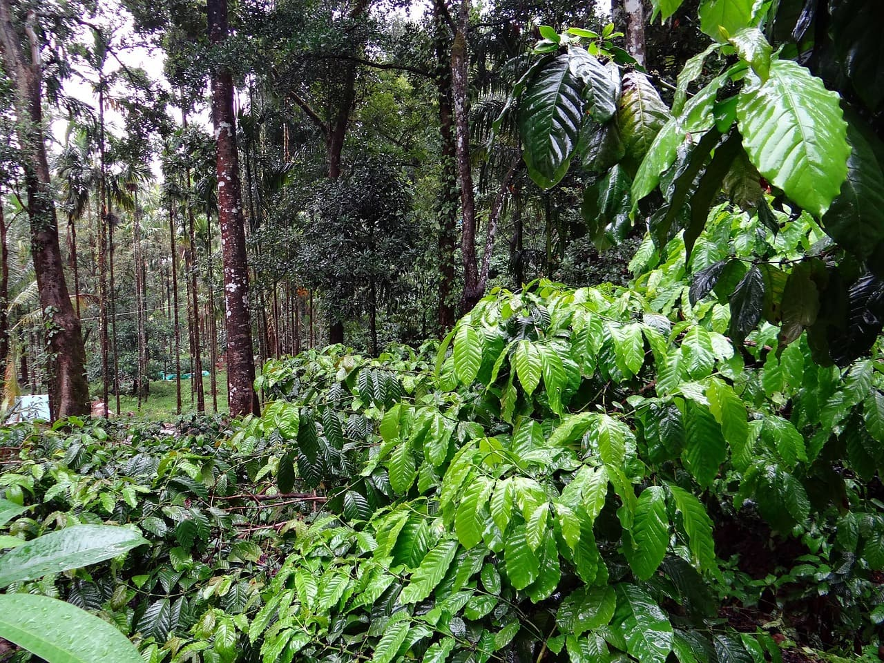 Coffee and spice plantation tour at the Serai