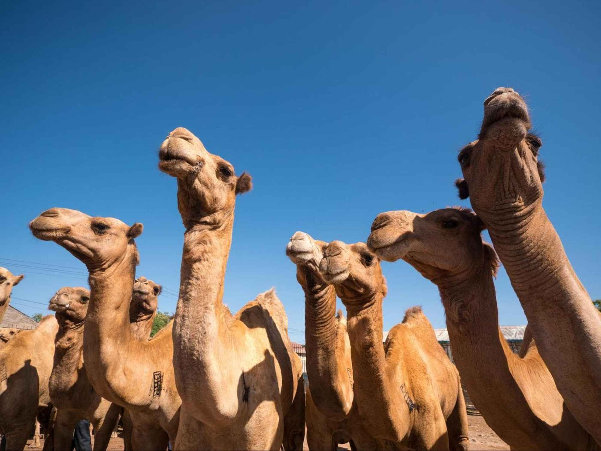 Somali camels at the livestock market in Hargeisa
