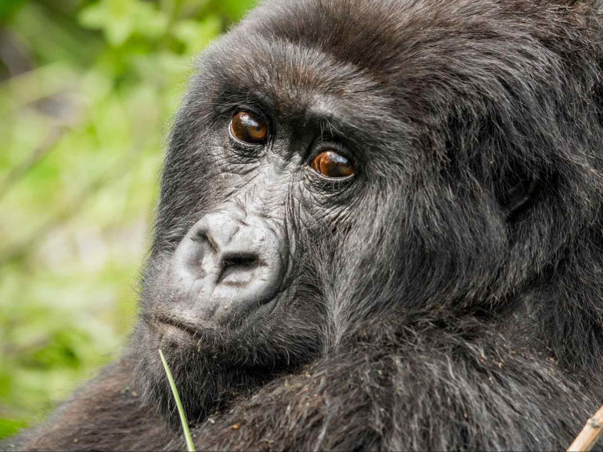 A relaxed female gorilla