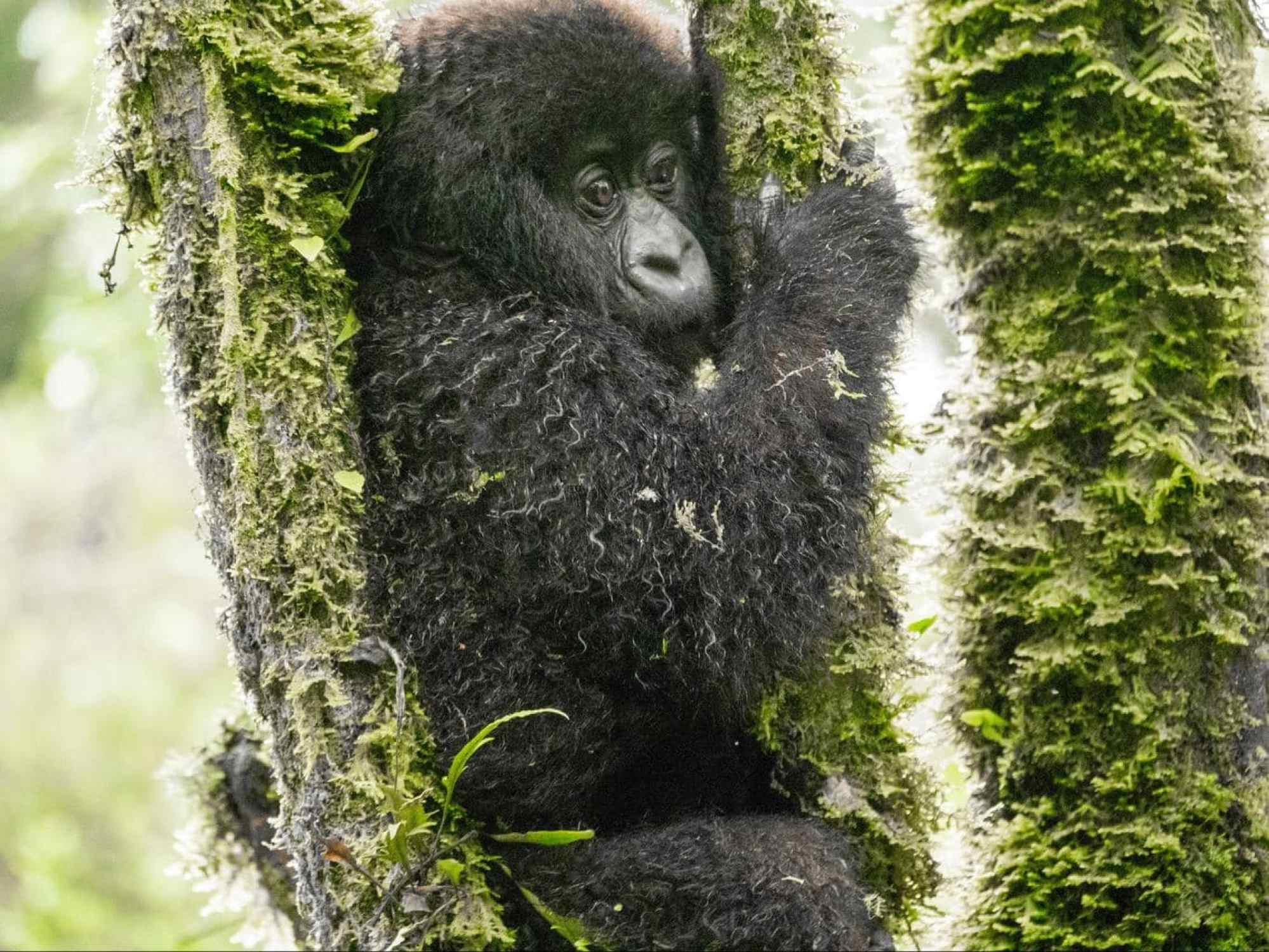 A young gorilla trying to squeeze between the branches