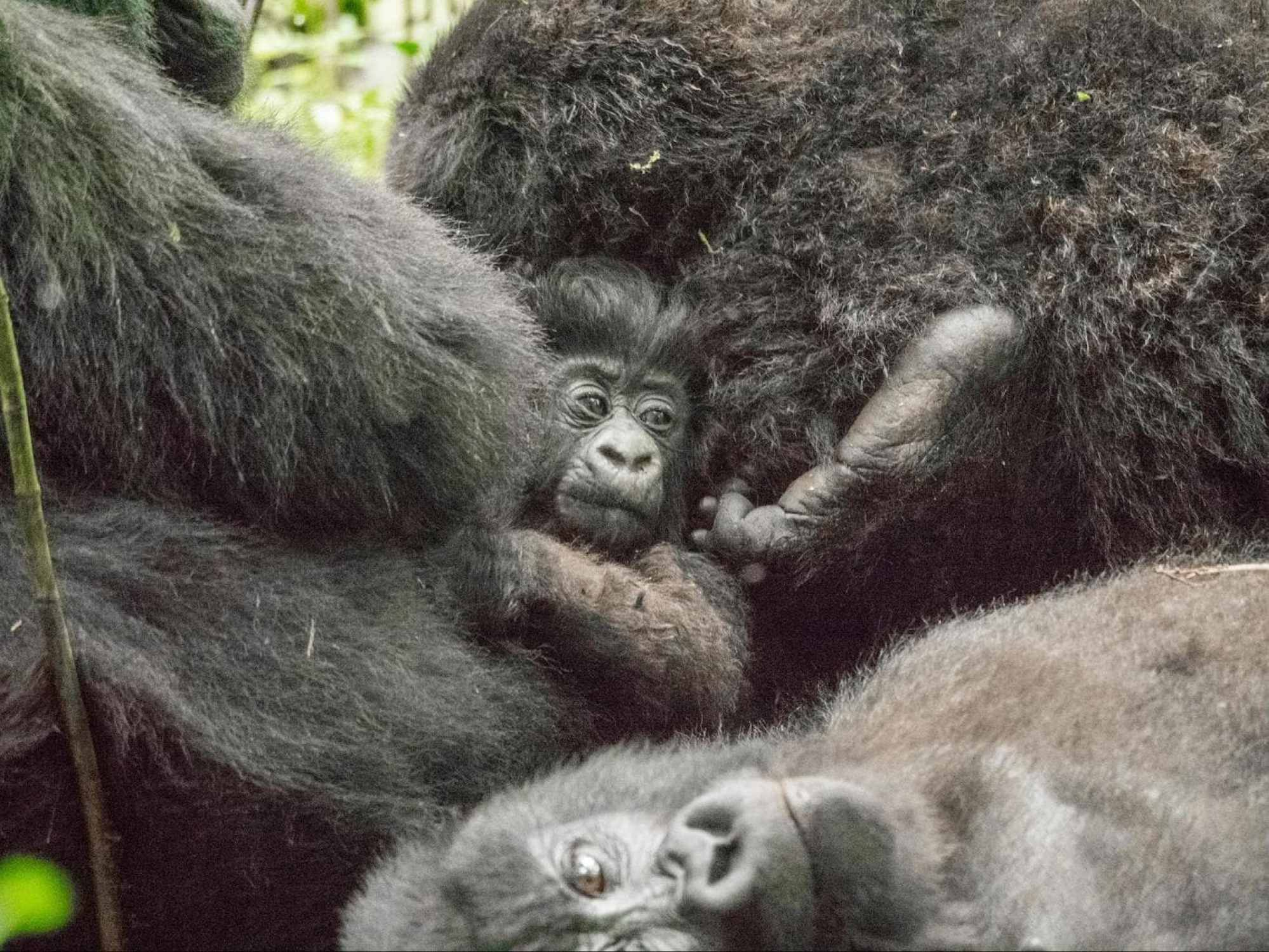 Baby gorilla with mommy