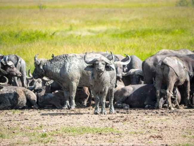 Buffalo at Akagera National park