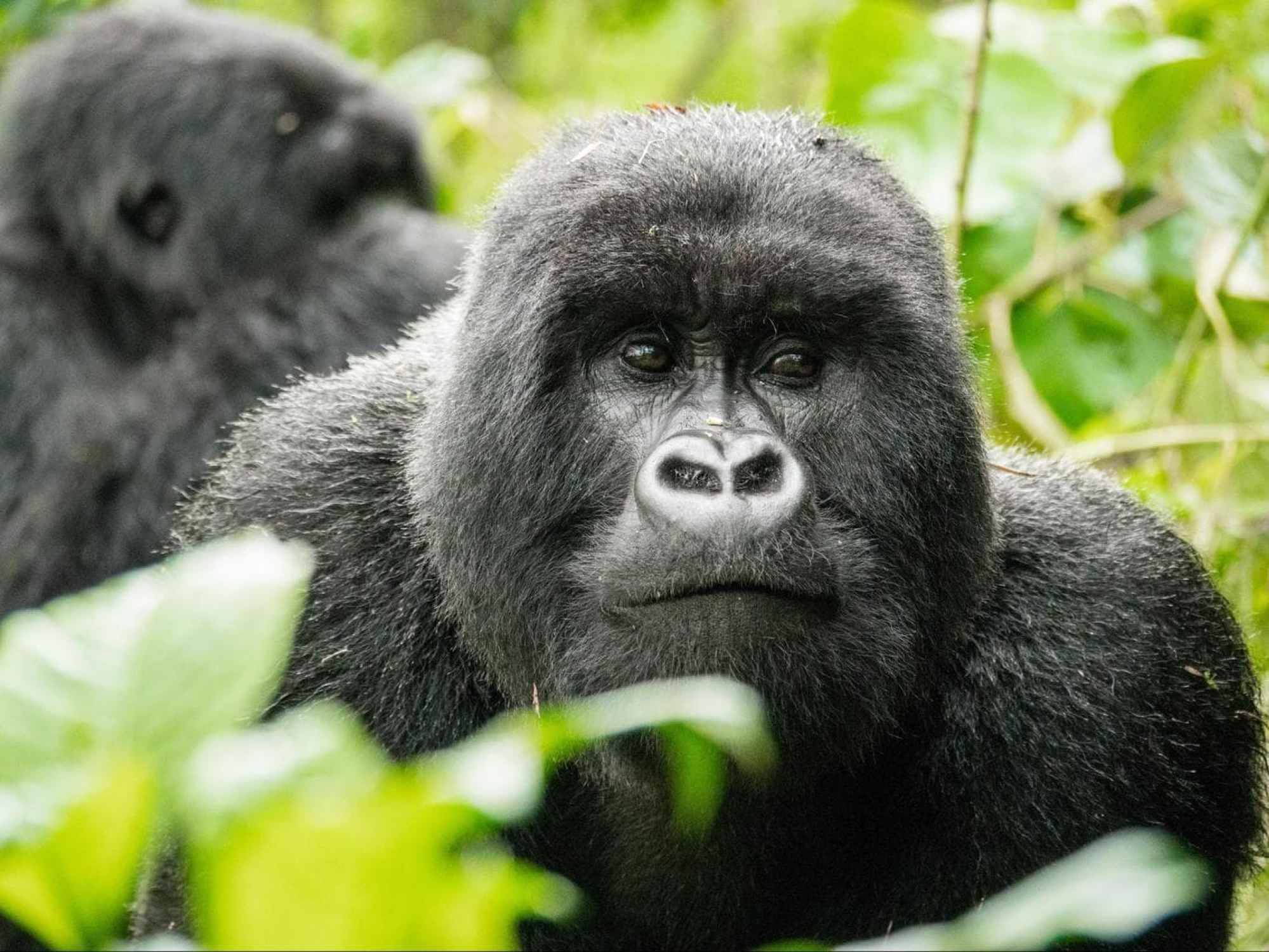 Gorillas in Volcanoes National Park