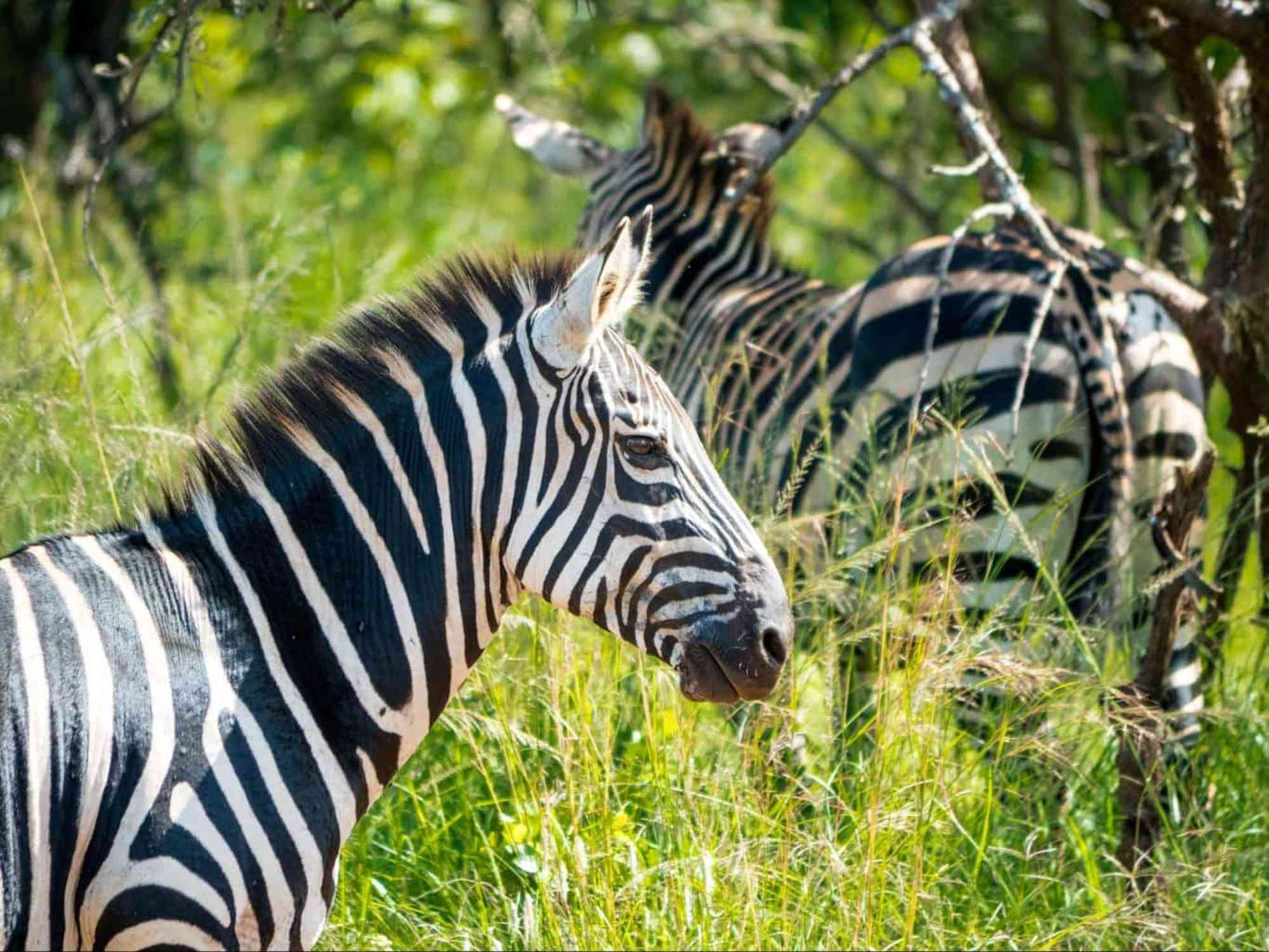 The zebras in Akagera National Park