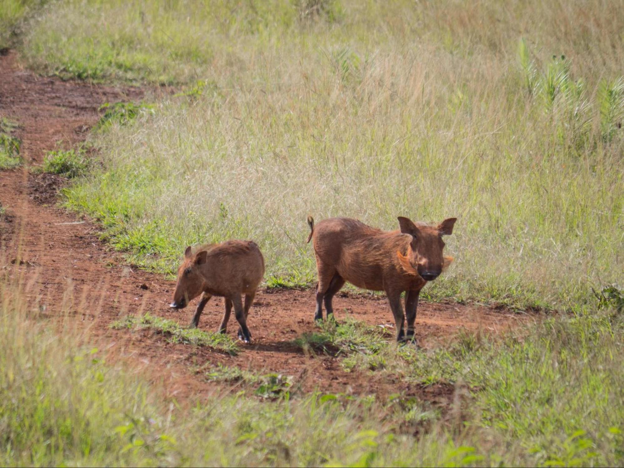 Warthogs in Akagera National Park