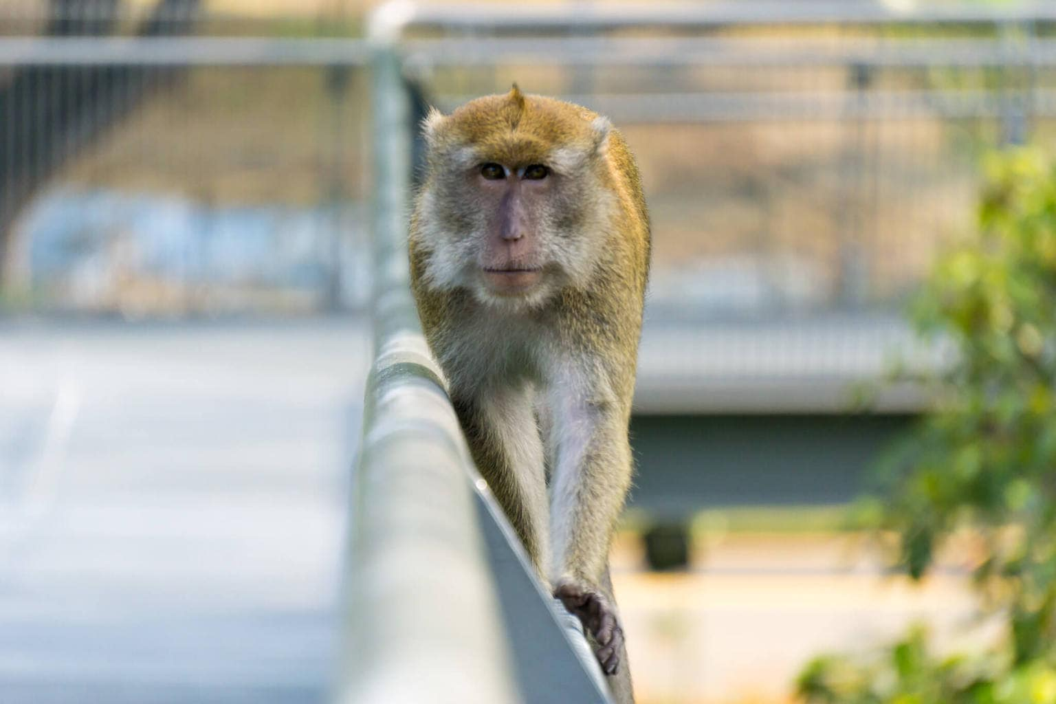 Macaque at the Southern Ridges
