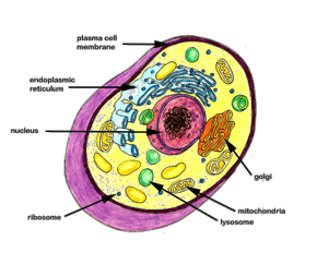 Image of: Typical Cell The Cell With Labeled Organelles Httpwebjjaycunyeduacarpinsc13 Cellshtm Oncolink How Do Healthy Cells Work Oncolink