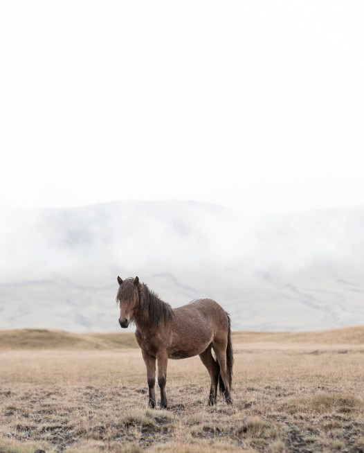 A brown horse set in Iceland landscape in a grassland with mountain blackground