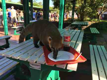 The naughty coati at Iguazu Falls. Plan ahead so they don't steal all your food!
