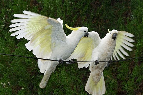 cockatoos talking wild birds language