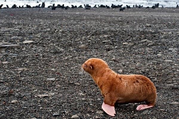 Albino Seal ginger loneliest pup