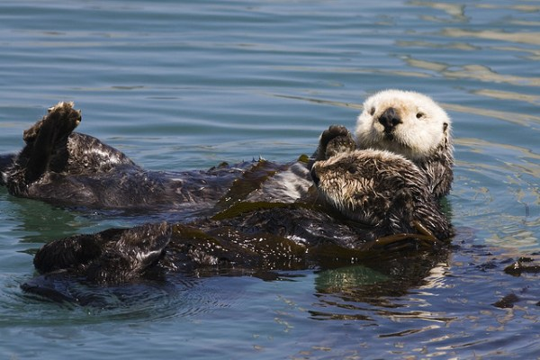Sea Otter Conservation