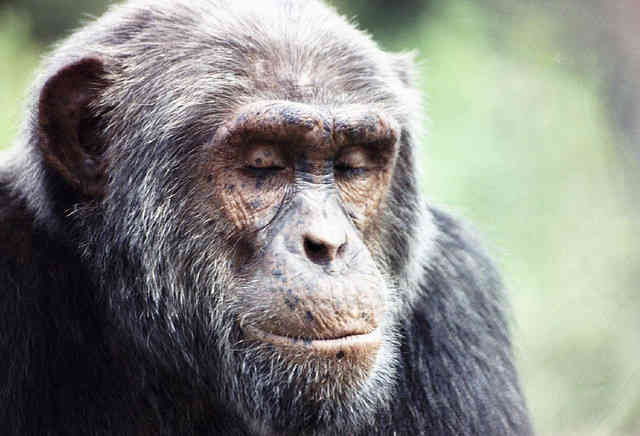 Chimps May Have the Ability to Understand Language Like Humans