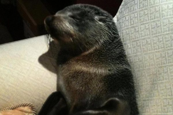 Baby Seal Breaks Into Home and Falls Asleep On Couch