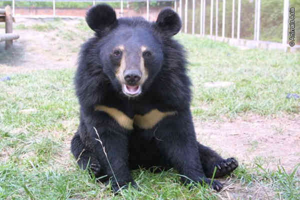Animals Asia: Rescuing Moon Bears From Bear Bile Farms