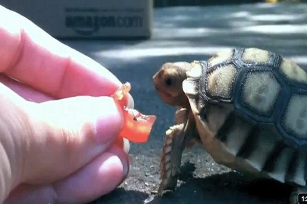 Kevin the tortoise vs the tomato