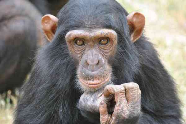 U.S. Limits Use of Chimps in Biomedical Research
