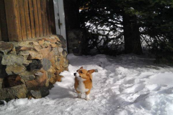 Dog Survives Avalanche and Walks Home Four Days Later