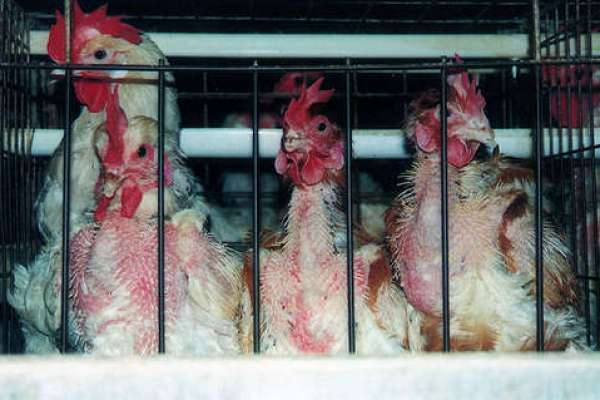 HSUS Invests in Fast Food Chain to Push for Animal Welfare Reforms