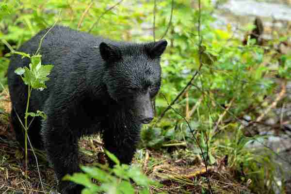 Hunters and Animal Rights Activists Square off Over Connecticut Bear Hunt Lottery