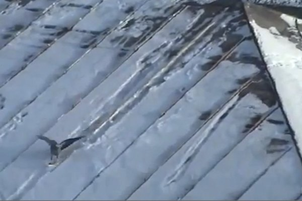 WATCH: A Crow Goes Snowboarding on a Rooftop!