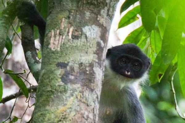 Near-Extinct Monkeys Accidentally Re-Discovered in Borneo