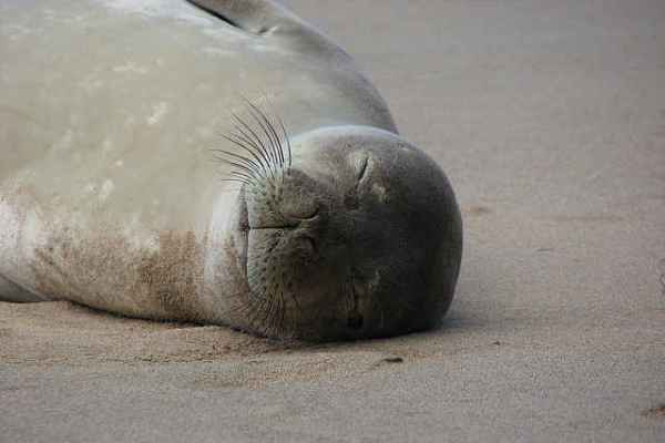$30,000 Offered for Information on Hawaiian Seal Slayings
