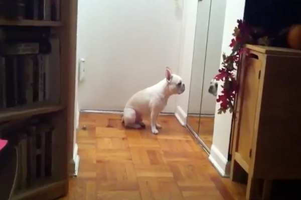 Sad French Bulldog Cries While Listening to Adele