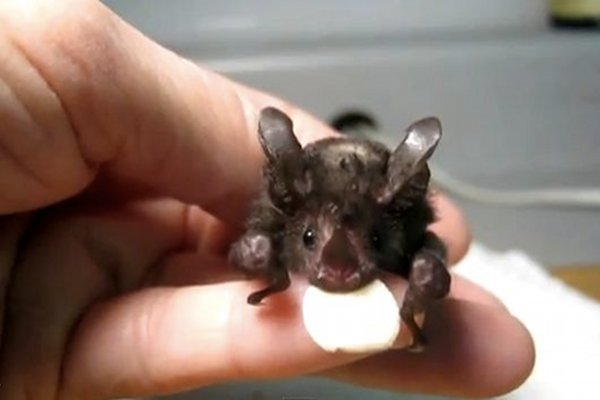 WATCH: Cute Rescue Bat Learns How to Fly