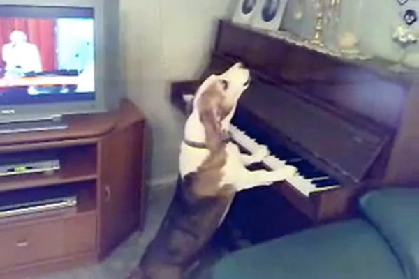 WATCH: Dog Playing the Piano and Singing