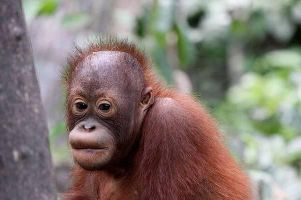 Indonesian Court Backs Palm Oil Company Over Orangutans