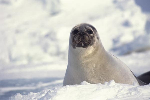 Help End Canada's Cruel Seal Slaughter