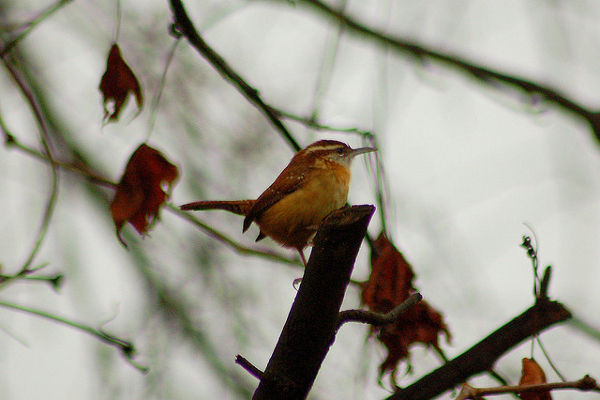 In Awe of the Wren: One of Nature's Many Miracles