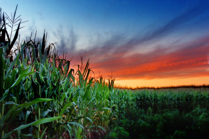 The Environmental Impact of GMOs